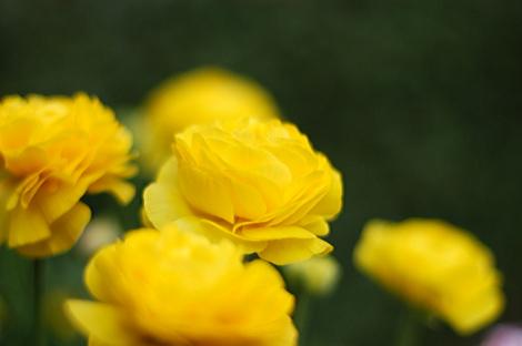 東京某所の黄色い花 (相変わらず花の名前を知らない)