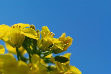 小山の菜の花