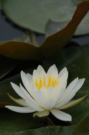 筑波サーキットの蓮の花