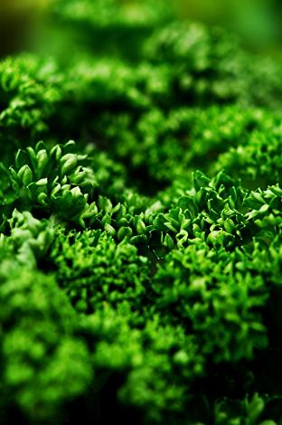 新緑のパセリ