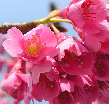350ganhisakura0409o14.jpg