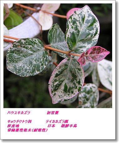 350hatuyukikazura80110ac.jpg