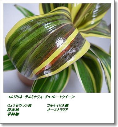 350korujirinechoko4gc.jpg