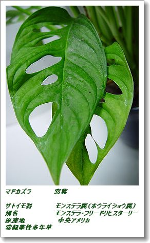 350madokazura1116c.jpg