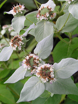 350mountainmint80806o1.jpg