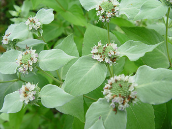 350mountainmint80813b.jpg