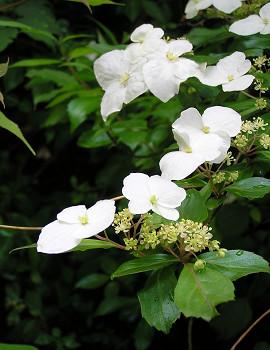 350yamaajisai80525o6.jpg