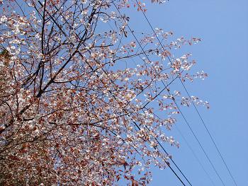 350yamasakura0419d.jpg