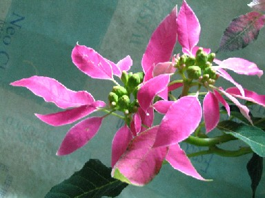 pinkpoin35.jpg