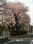 2006年 桜