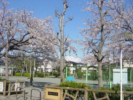 浦賀丘三丁目公園の桜