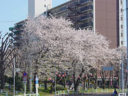 キレイに咲き誇る桜
