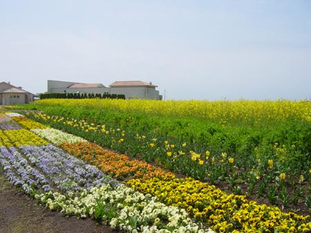 見事な菜の花畑