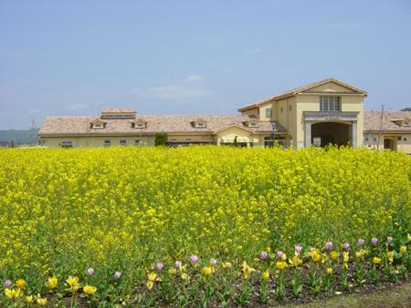 およそ10万本もの菜の花が咲いています