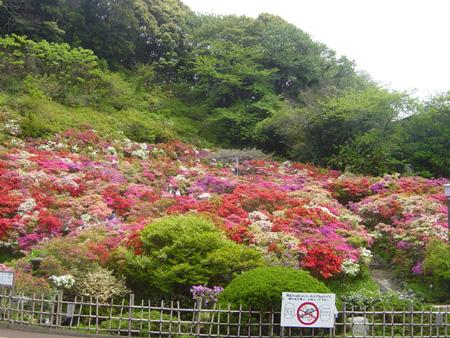 葉山・花の木公園のつつじ