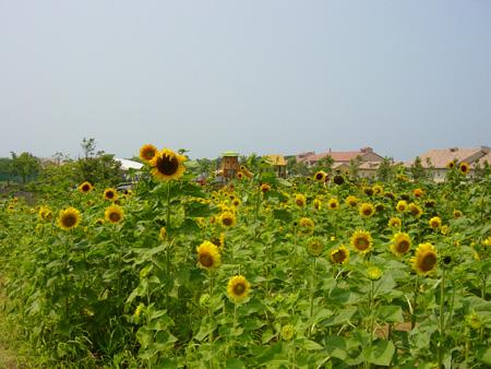 農場側のヒマワリ畑