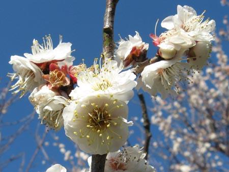 見事に咲いた梅