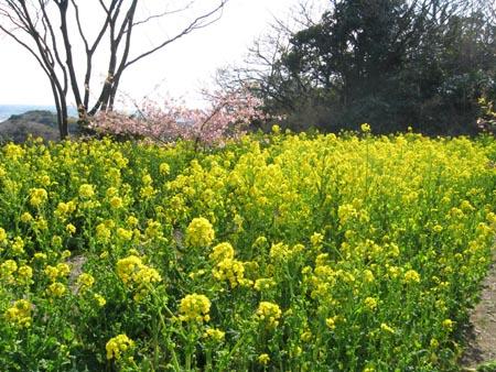 へっぴり坂の菜の花畑