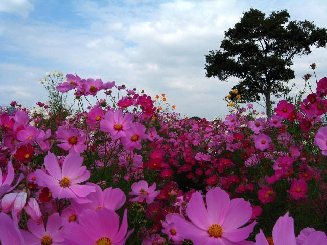 banyu_cosmos04.jpg