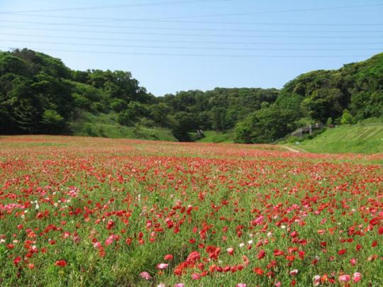 くりはま花の国のポピー園@5月27日