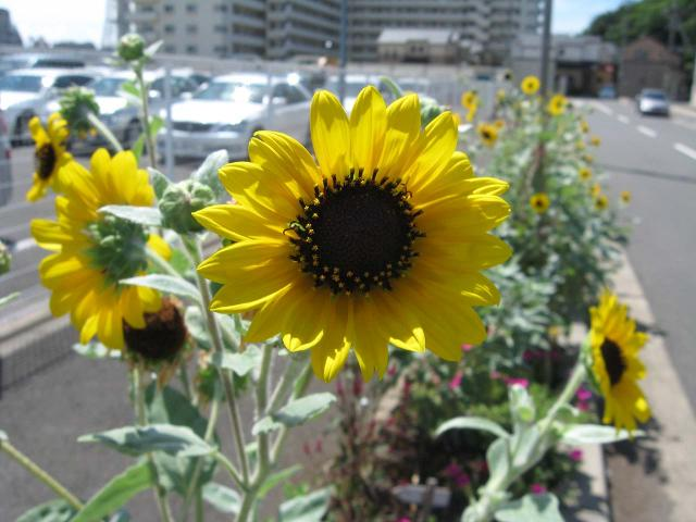 kuri_sunflo01.jpg