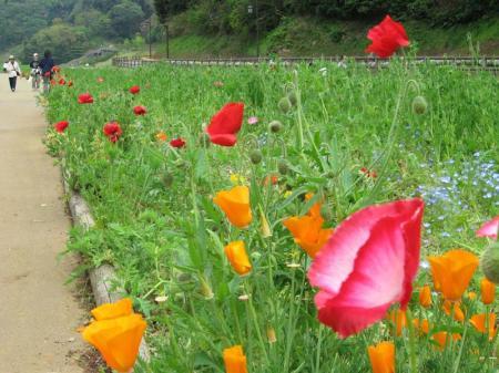 poppy2008042602.jpg