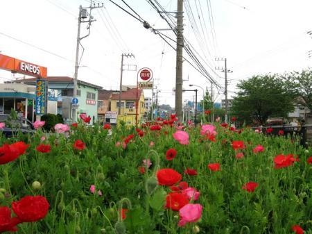 shinmei_poppy03.jpg