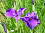紫衣の誉(しいのほまれ)