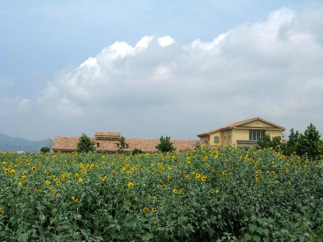 ソレイユの丘のひまわり畑