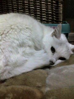 シー子寝る