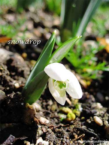 snowdrop2008/03/09