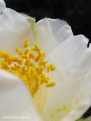 白椿2008/03/30