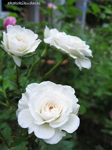 白のミニバラ1