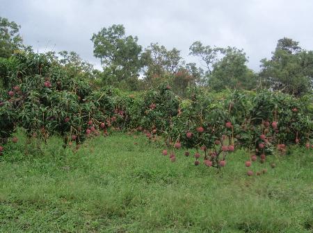マンゴー果樹園