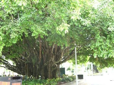 街のフィグツリー