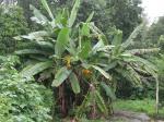 野生のバナナ