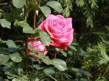 旧古川庭園バラ