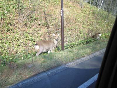 野生のえぞ鹿