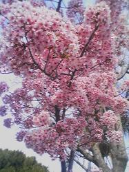 桜inLA