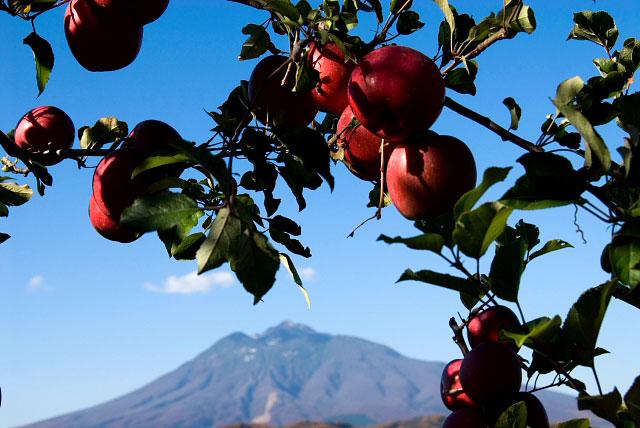 岩木山を望むりんご園