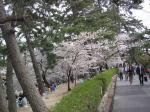 夙川の桜その1