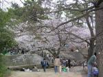 夙川の桜その2