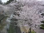 夙川の桜その3