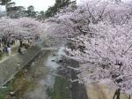 夙川の桜その4