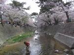 夙川の桜その6