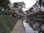 夙川の桜その8