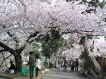 夙川の桜その10