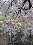 夙川の桜その11
