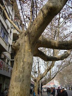 鄭州の街路樹