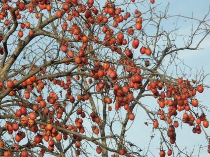 柿の鈴生り02